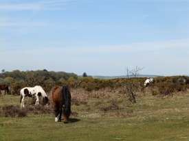 lejog-dartmoor-ponies