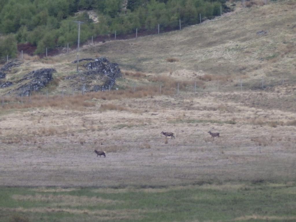 lejog-roaming-deer